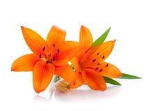 Lilie mit zwei Orangen Stockfoto