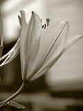 Lilie nach dem Regen Stockbild
