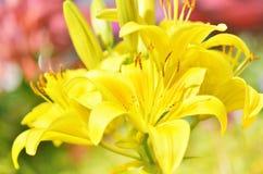 Lilie am Sommertag blüht im Garten Lizenzfreie Stockfotografie