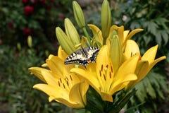lilie swallowtail s Fotografia Royalty Free