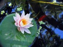 Lilie und Fische Lizenzfreie Stockfotografie