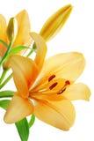 Lilien stockfotografie