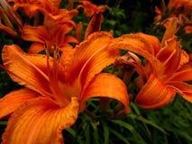 lilien stockbild
