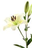 Lilien stockfoto