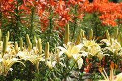 Lilien stockbilder
