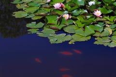 Lilien auf dem Wasser im Teich Lizenzfreie Stockfotos