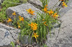 Lilien auf Steinen 6 Stockbild