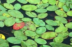 Lilien-Auflage-Hintergrund Lizenzfreies Stockfoto