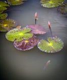 Lilien-Auflagen Stockbilder