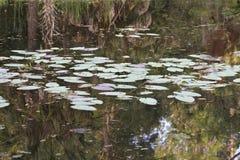 Lilien-Auflagen auf einem Teich stockfotos
