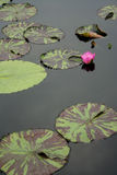 Lilien-Auflagen im ruhigen Wasser Stockfotografie