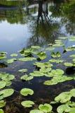 Lilien-Auflagen im See Lizenzfreie Stockfotografie