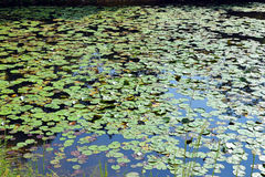 Lilien-Auflagen im Teich Stockbilder
