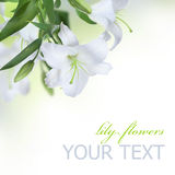 Lilien-Blume Lizenzfreie Stockfotos