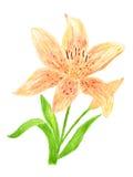 Lilien-Blumen-Aquarell handgemalt Lizenzfreie Stockfotografie