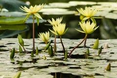 Lilien des gelben Wassers Lizenzfreies Stockbild