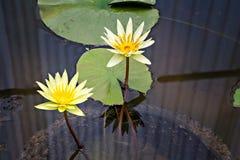 Lilien des gelben Wassers lizenzfreies stockfoto