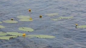 Lilien des gelben Wassers stock footage