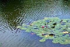 Lilien des roten Wassers Stockfotos