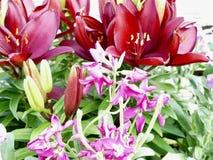 Lilien des Tales Stockfoto