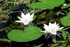 Lilien in einem Teich Lizenzfreies Stockfoto