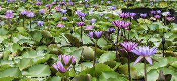 Lilien in einem Teich Lizenzfreie Stockbilder