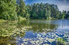 Lilien in einem Teich Stockbild