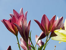 Lilien gegen den blauen Himmel Stockfotos
