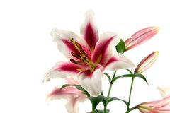 Lilien getrennt auf Weiß Lizenzfreie Stockfotografie