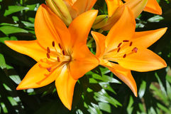 Lilien (Lilium) der orange Farbe Stockfoto