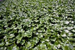 Lilienauflagehintergrund Stockfoto