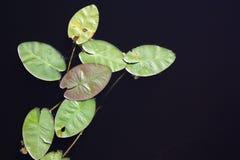 Lilienauflagen auf schwarzem Teich lizenzfreie stockfotografie