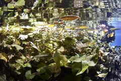 Lilienauflagen im cenote Stockbilder