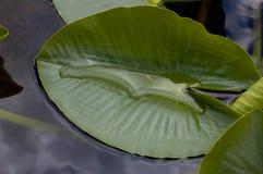 Lilienblatt im Wasser Stockbilder