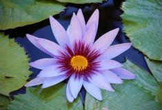Lilienblume loto purpurrote beautful Farben Flor de Loto stockbilder