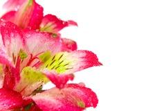 Lilienblumen Stockbilder
