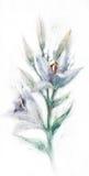 Lilienblumen-Aquarellzeichnung Lizenzfreie Stockfotos