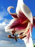 Lilienblumen gegen Himmel lizenzfreies stockfoto