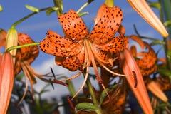 Liliengarten lizenzfreie stockfotografie