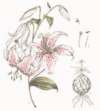 Lilienhintergrund Stockfoto