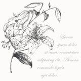 Lilienhintergrund Stockfotos