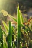 Lilienhintergrundbeleuchtung lizenzfreies stockfoto