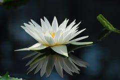 Liliennahaufnahme des weißen Wassers geschossen mit Reflexion Lizenzfreies Stockfoto