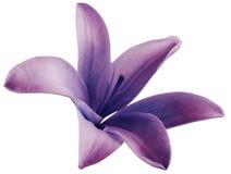 Lilienpurpurblume lokalisiert mit Beschneidungspfad auf einem weißen Hintergrund Schöne Lilie Für Auslegung Lizenzfreie Stockbilder