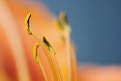 Lilienstaubgefäß Stockfoto