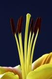 Lilienstaubgefäß Stockfotos