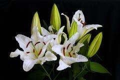 Lilienweiß auf einem schwarzen Hintergrund Lizenzfreies Stockbild
