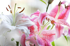 Lilies. White and pink bunch close up Royalty Free Stock Image