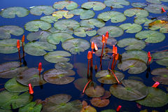 Lilies 14. A pond of water lilies royalty free stock images