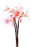 Lilies. Bouquet of pink lilies isolated in white Stock Images